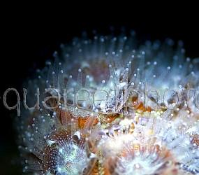 Acanthastrea lordhowensis 05