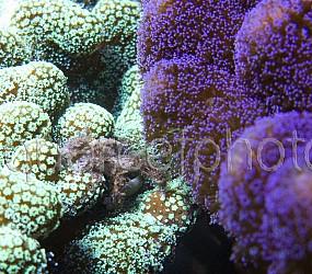Stylophora & Mythrax