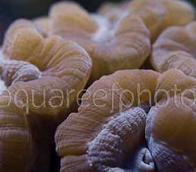 Caulastrea echinulata 04