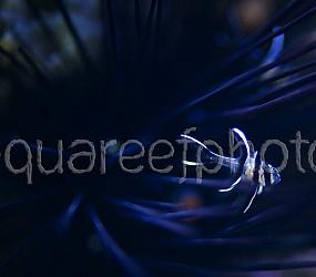 Pterapogon kauderni 02