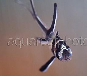 Pterapogon kauderni 03