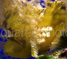 Taenianotus triacanthus 01