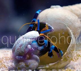 Calcinus elegans changing shell