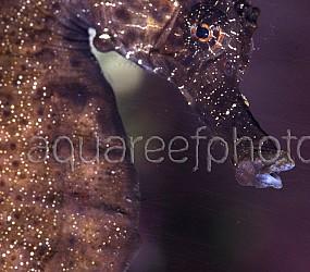 Hippocampus reidi 01