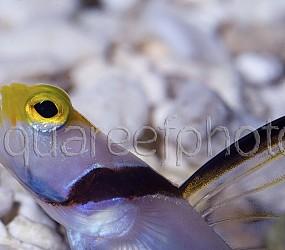 Stonogobiops nematodes 01