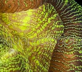 Trachyphyllia geoffroyi 01