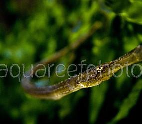 Syngnathoides biaculeatus 01