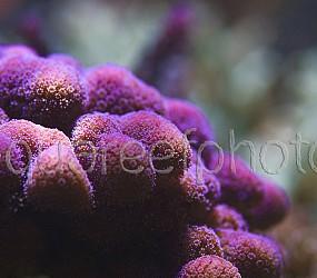 Stylophora pistillata 02