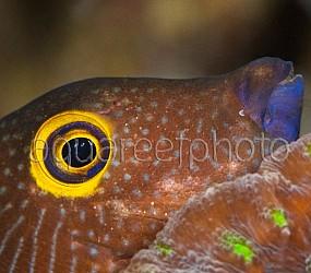 Ctenochaetus strigosus 01