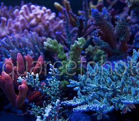 Actinic corals 01