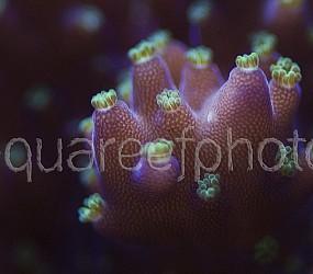Acropora tricolor 02