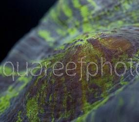 Trachyphyllia geoffroyi 04