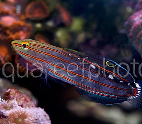 Amblygobius rainfordi 05