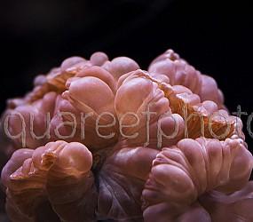 Nemenzophyllia turbida 03