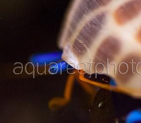 Calcinus elegans 01