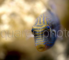 Canthigaster solandri 01