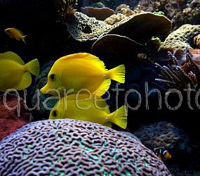 Zebrasoma flavescens 02