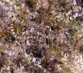 Corythoichthys flavofasciatus 01