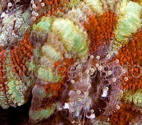 Acanthastrea lordhowensis 03
