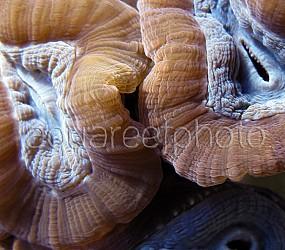 Caulastrea echinulata 01