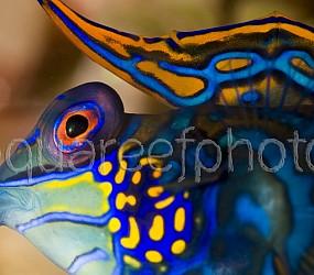 Synchiropus splendidus 07