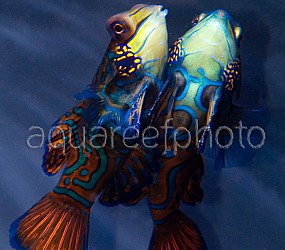 Synchiropus splendidus 06