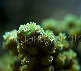 Acropora sarmentosa 01