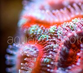 Acanthastrea lordhowensis 09