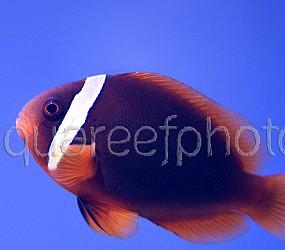Amphiprion frenatus 01