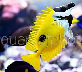 Siganus unimaculatus 01
