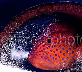 Cephalopholis miniata 01