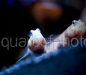 Amblyeleoris guttata 15