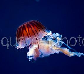 Chrysaora jellyfish 01