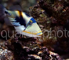 Rhinecanthus aculeatus 01