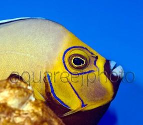 Chaetodontoplus conspicillatus 06