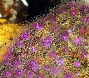 Corynactis viridis 02