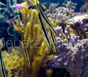 Aeoliscus strigatus 02