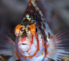 Cirrhitichthys falco 01