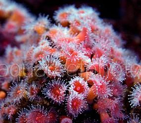 Corynactis californica 02