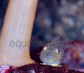 Eumicrotremus spinosus 01