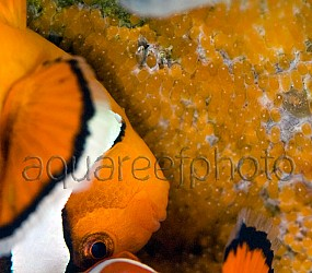 Amphiprion spawn 03