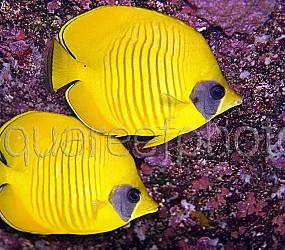 Chaetodon semilarvatus 01