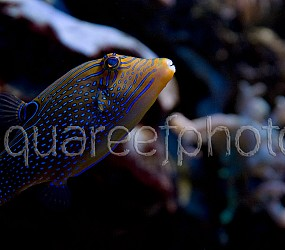 Canthigaster papua 01