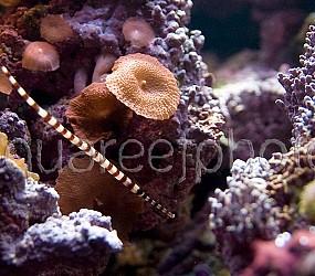 Doryrhamphus dactyliophorus 01