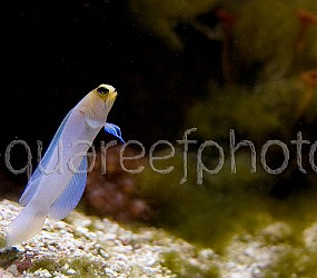 Opistognathus aurifrons 03