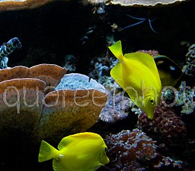 Pholidichthys leucotaenia 01