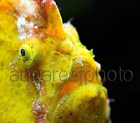 Antennarius pictus 05