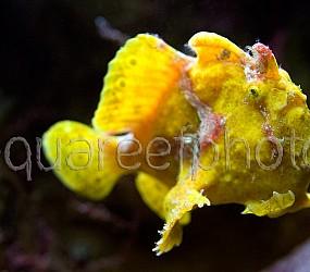 Antennarius pictus 06