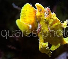 Antennarius pictus 07