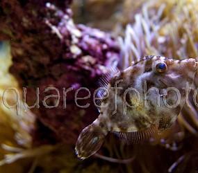 Acreichthys tomentosus 02